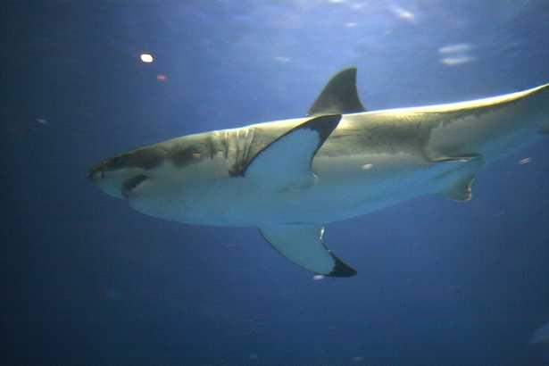 squalo bianco e orca assassina