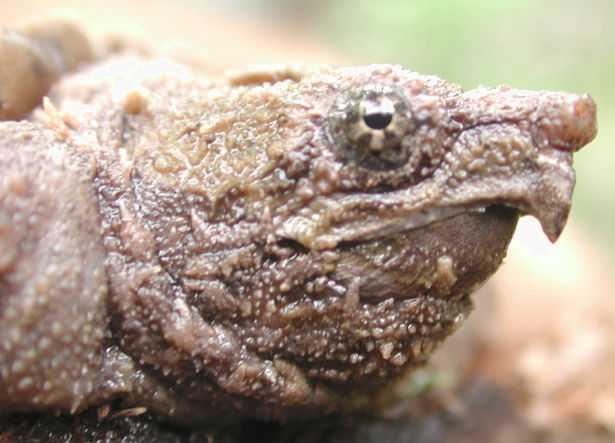 tartaruga alligatore prezzo
