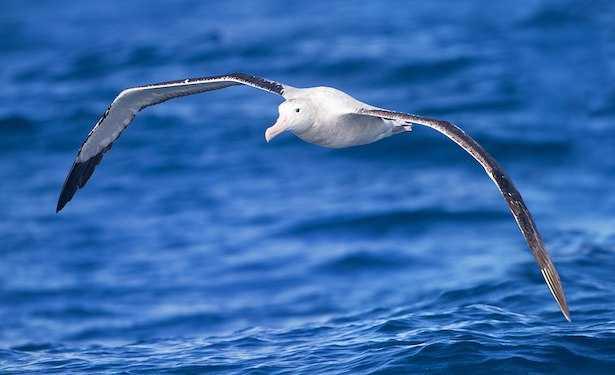 albatro uccelli
