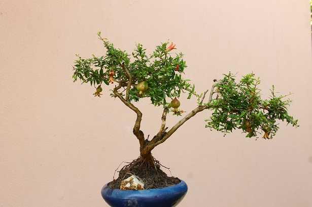 bonsai-da-frutto