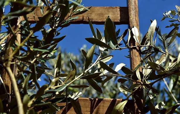 foglie-olivo