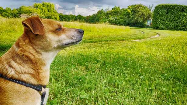 foto cane Pongo