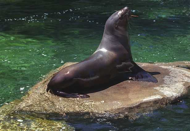 leone marino