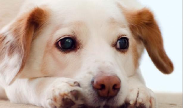 Soffio al cuore nel cane