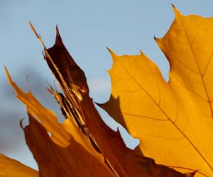 Come conservare le foglie degli alberi