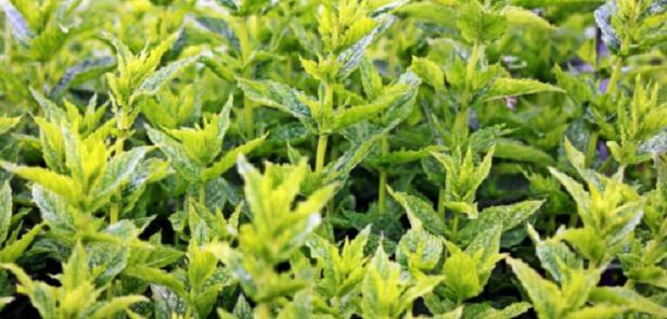 10 consigli per coltivare aromatiche
