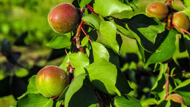 Come pulire gli alberi da frutto in inverno