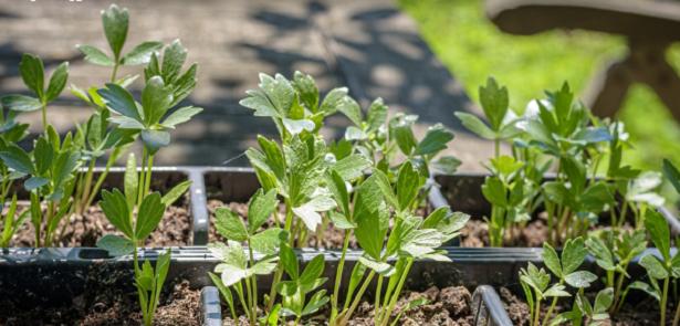 Come coltivare il levistico e come usarlo