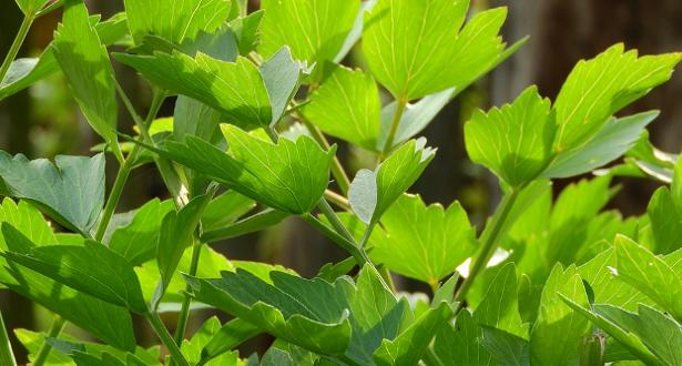 Come coltivare il levistico e come usarloCome coltivare il levistico e come usarlo