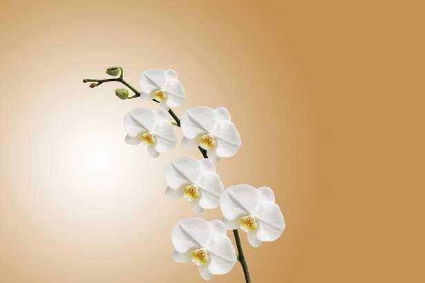 Semi di orchidea