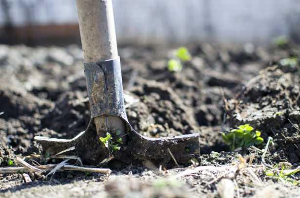 Come coltivare la cipolla egiziana
