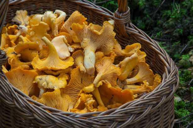 funghi gialli
