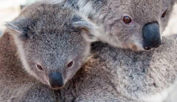 Quali animali vivono in Australia