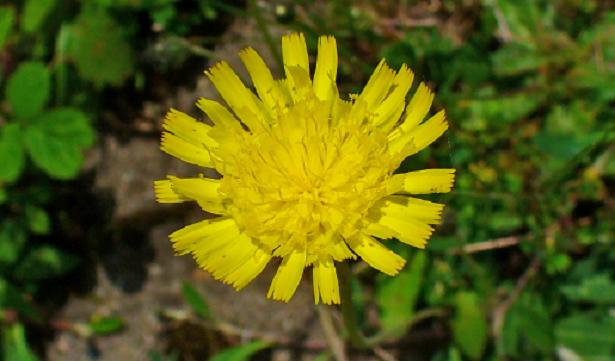 Fiore di Pilosella
