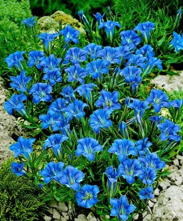 fiori blu per aiuole