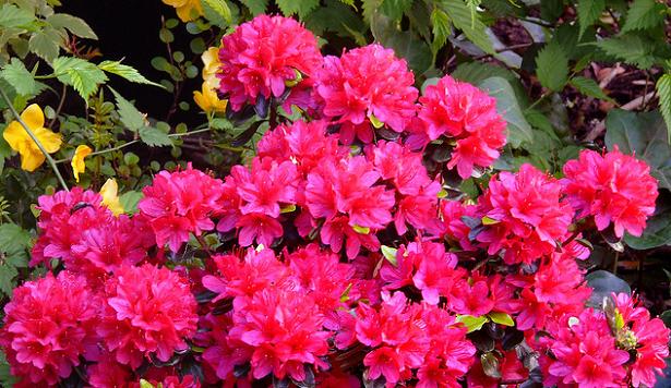 azalea fucsia fiorita