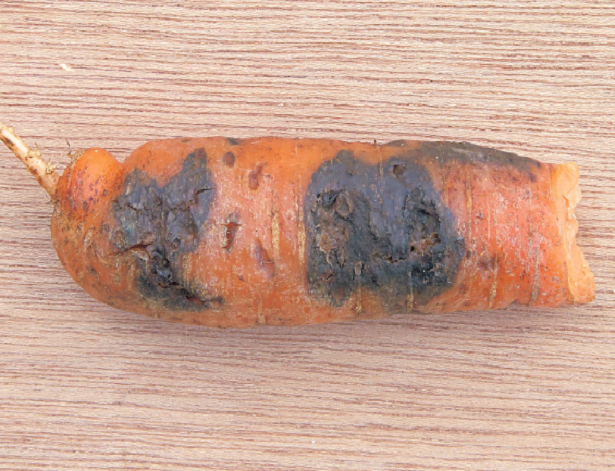 carota con alternaria alternata