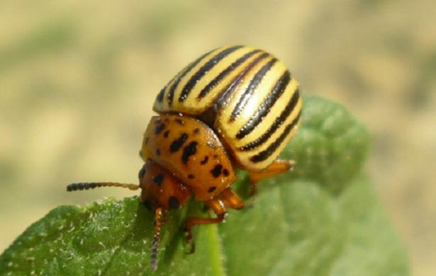 doriflora larva deforgliatrice