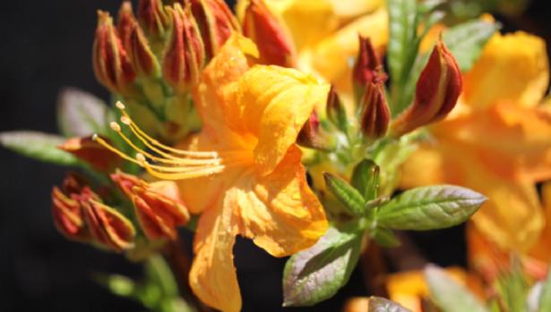 fiore di azalea giallo