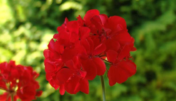fiori di geranio rosso