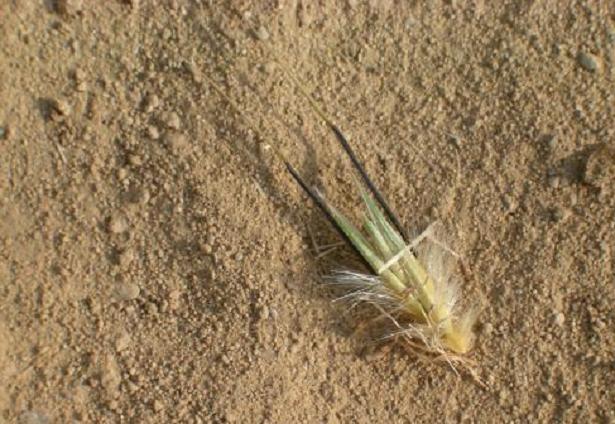 forasacco spiga in terra