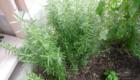 piante aromatiche da balcone