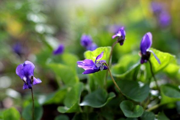 piante alimurgiche