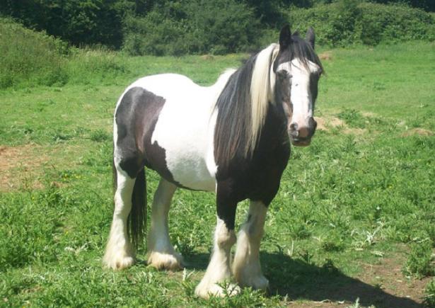 cavallo gypsy vanner