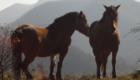 cavalli in appennino