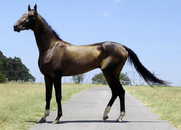 cavallo Akhal Teke
