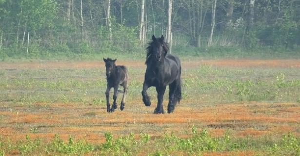 Cavallo Fell