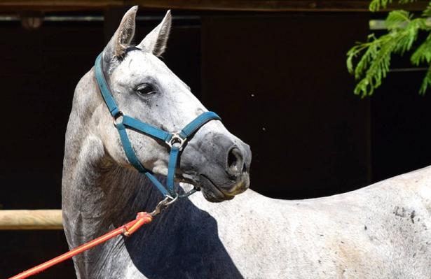 cavallo andaluso bianco
