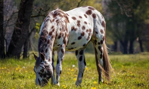 cavallo appaloosa