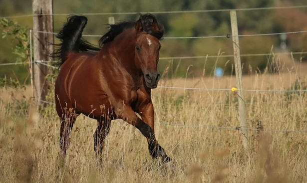 cavallo arabo che corre