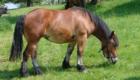 cavallo ardennese femmina