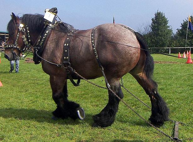 cavallo ardennese