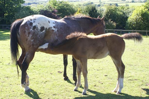 cavallo e puledro Appaloosa