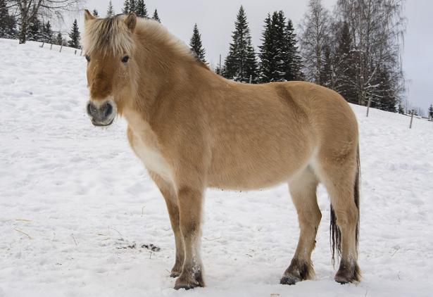 cavallo fjord