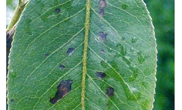 foglie con maculatura bruna