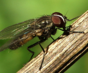 mosca minatrice