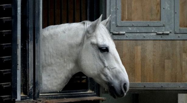 muso di cavallo Lipizziano