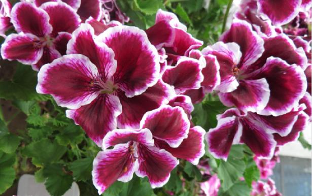 Pelargonium pianta