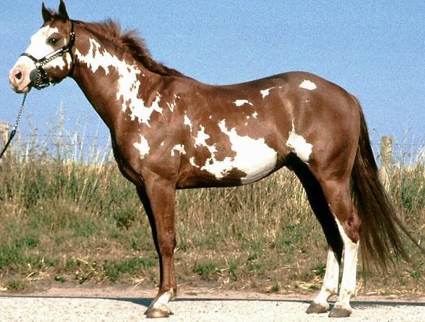 cavallo paint horse