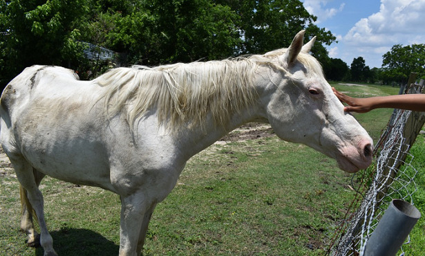 Cavallo Albino accarezzato