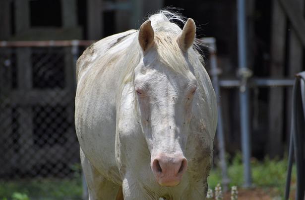 Cavallo Albino