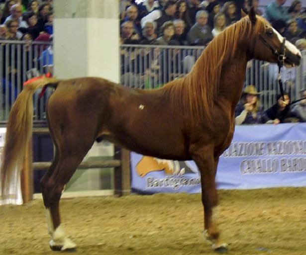 cavallo persano