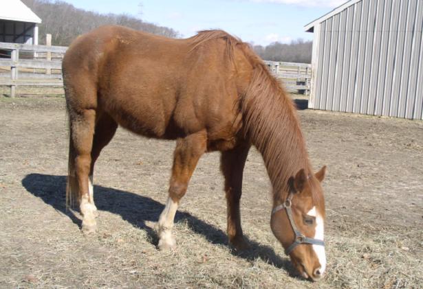 Cavallo Quarter Horse
