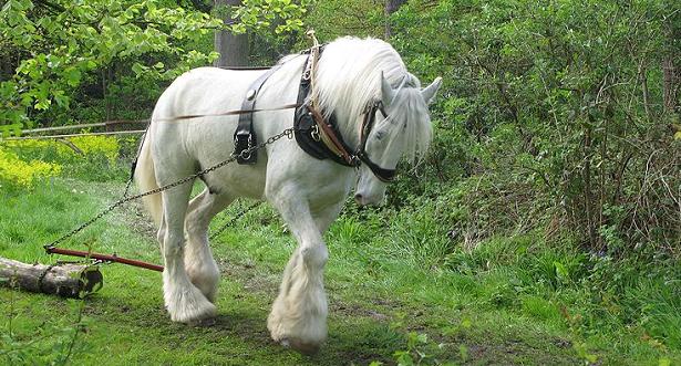 cavallo shire bianco