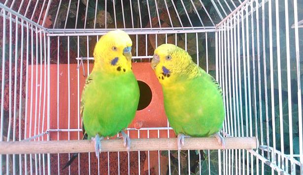 coppia di cocorite