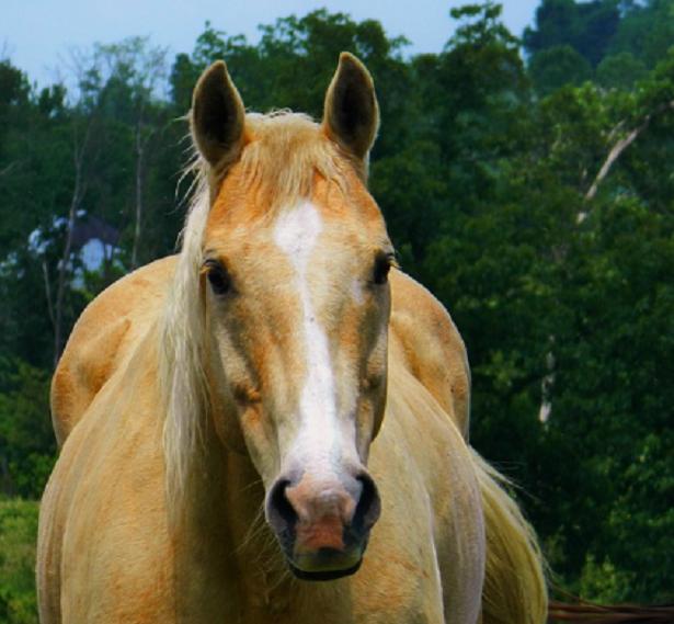 muso di Cavallo Palomino